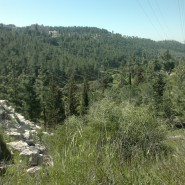 My Walk through the Jerusalem Forest