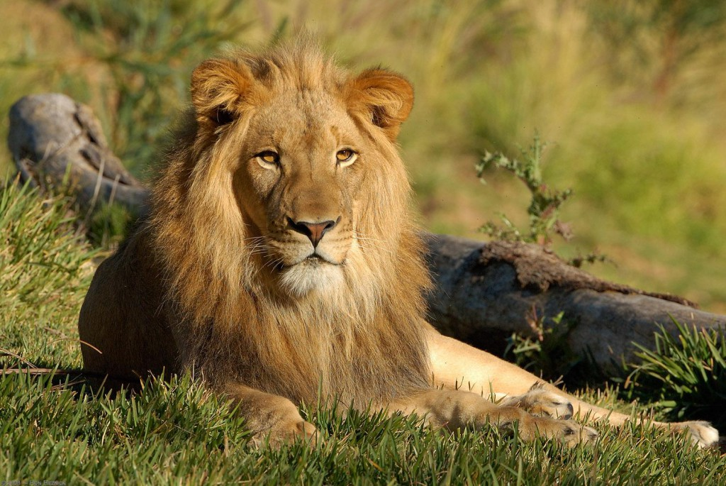 Lion5 - Copy
