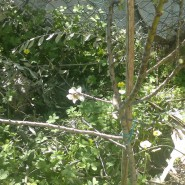 Our 1st Weisberg Almond Blossom