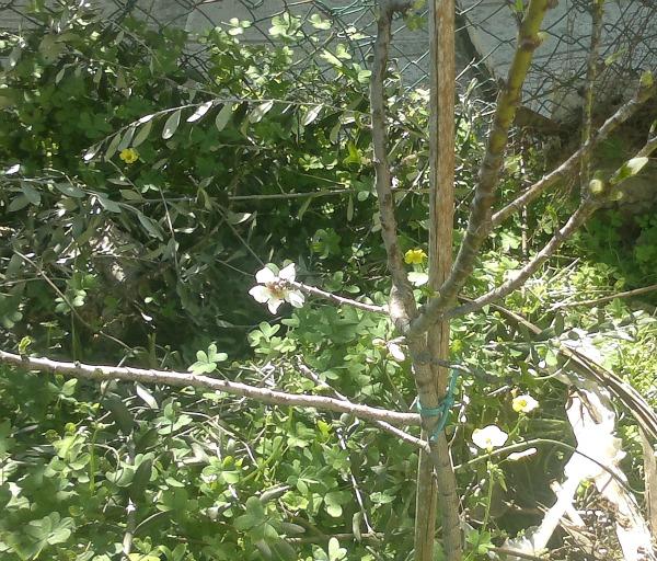 almond blossom one