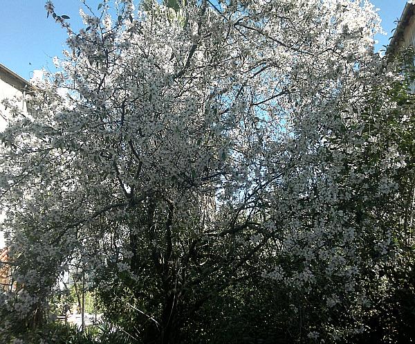 almond tree big
