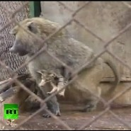 Baboon in Israeli Zoo Adopts Kitten (1-Minute Touching Video)