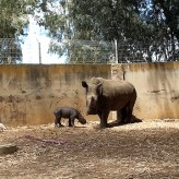 Baby Rhino Born at Ramat Gan Safari (1-Minute Adorable Video)