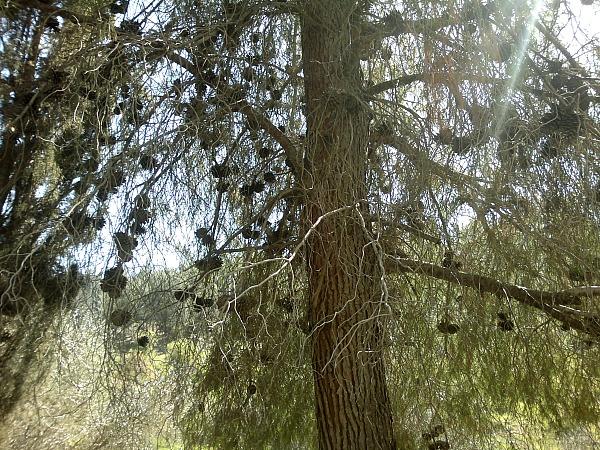 jf pine tree