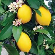 The Sweetest Lemon