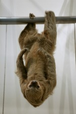 Sloth Miraculously Crosses Street (1-Minute Video)