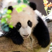 Baby Panda Loves Ball (1-Minute Adorable Video)
